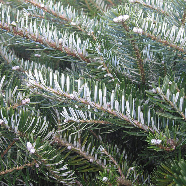 Abies koreana (KOREJAS BALTEGLE)