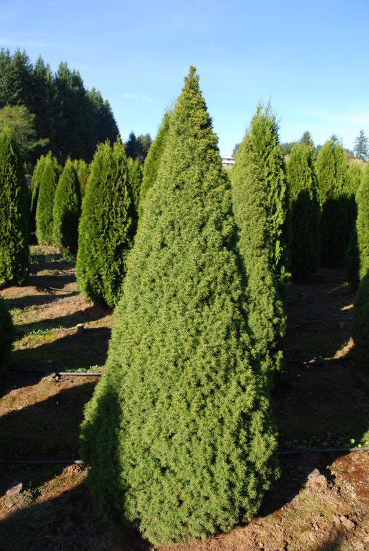 "Picea glauca ""Conica"" (KANĀDAS EGLE)"