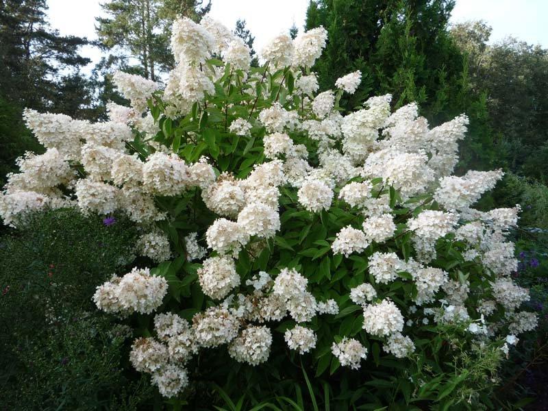 Hydrangea paniculata ''Grandiflora'' (SKARAINĀ HORTENZIJA)