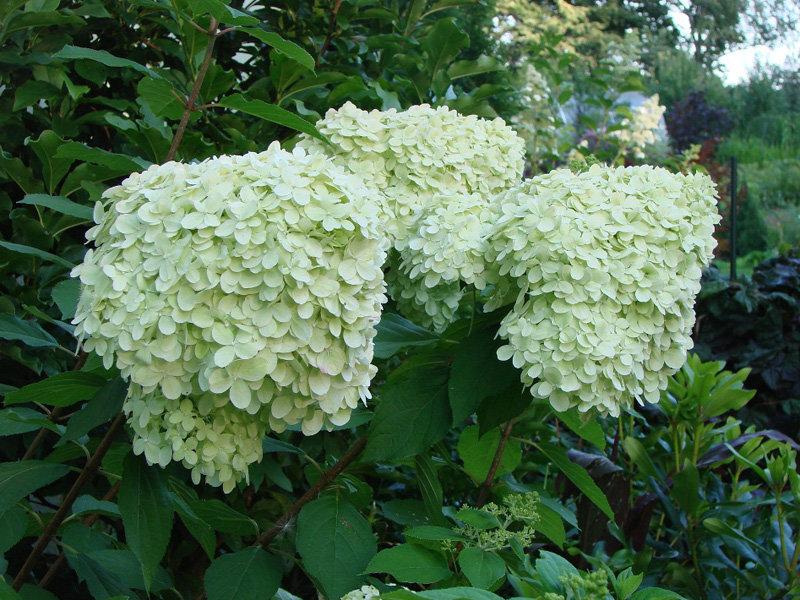 Hydrangea paniculata ''Limelight'' (SKARAINĀ HORTENZIJA)