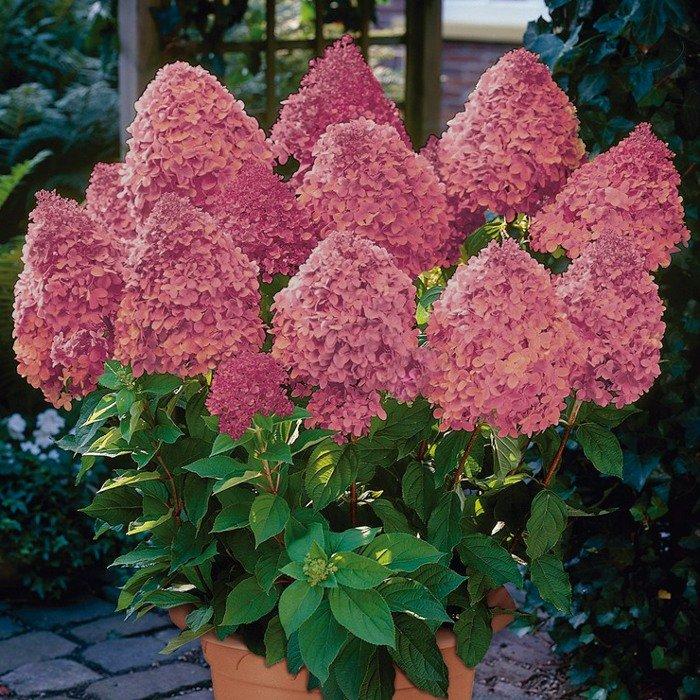 "Hydrangea paniculata ""Magical Fire"" (SKARAINĀ HORTENZIJA)"