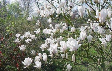 Magnolia soulangeana ''Alba Superba'' (MAGNOLIJA)
