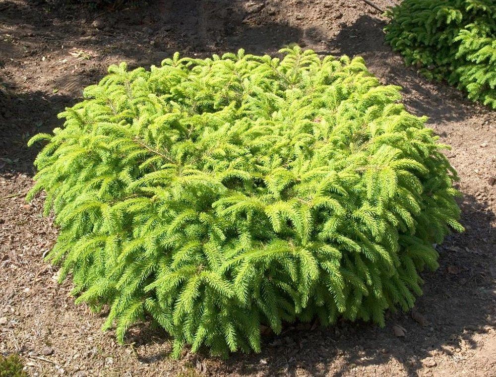 """Picea abies """"Nidiformis"""" (ASĀ EGLE)"""