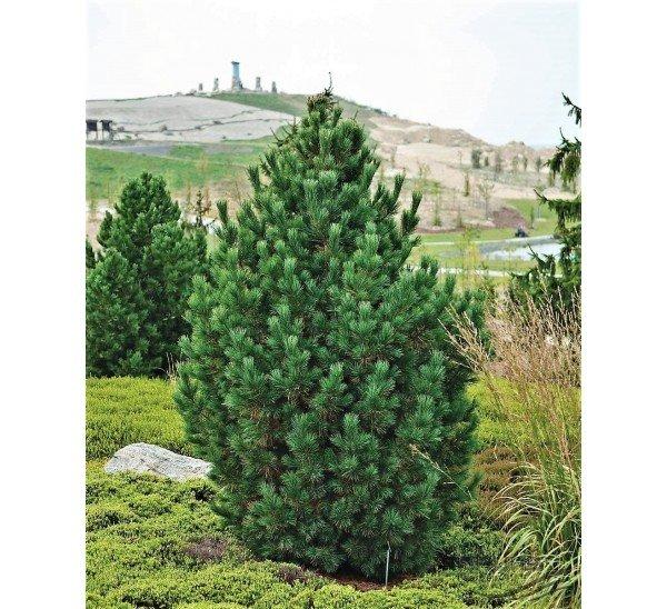 Pinus cembra (EIROPAS CIDRU PRIEDE)