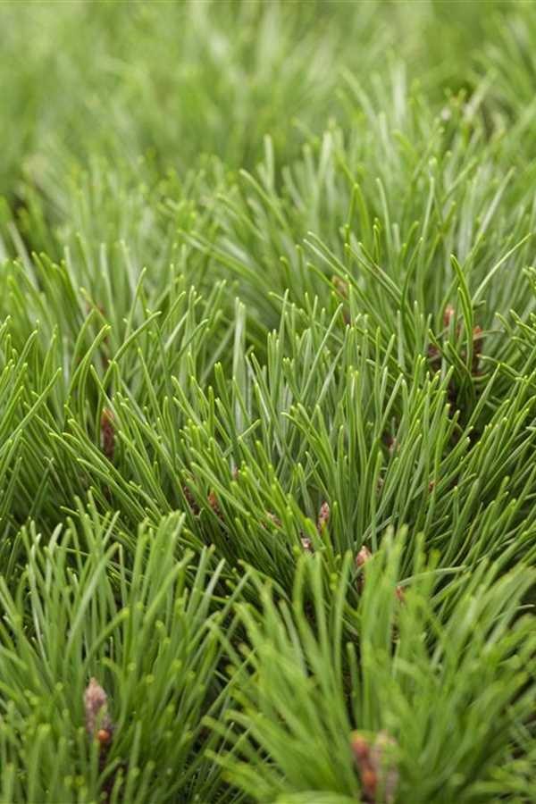 Pinus mugo var. Pumilio (KALNA PRIEDE)