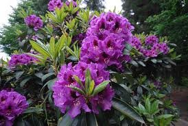 Rhododendron ''Rasputin'' (RODODENDRS)