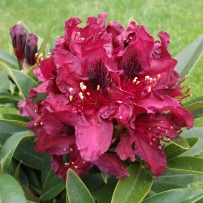 Rhododendron ''Kali'' (RODODENDRS)