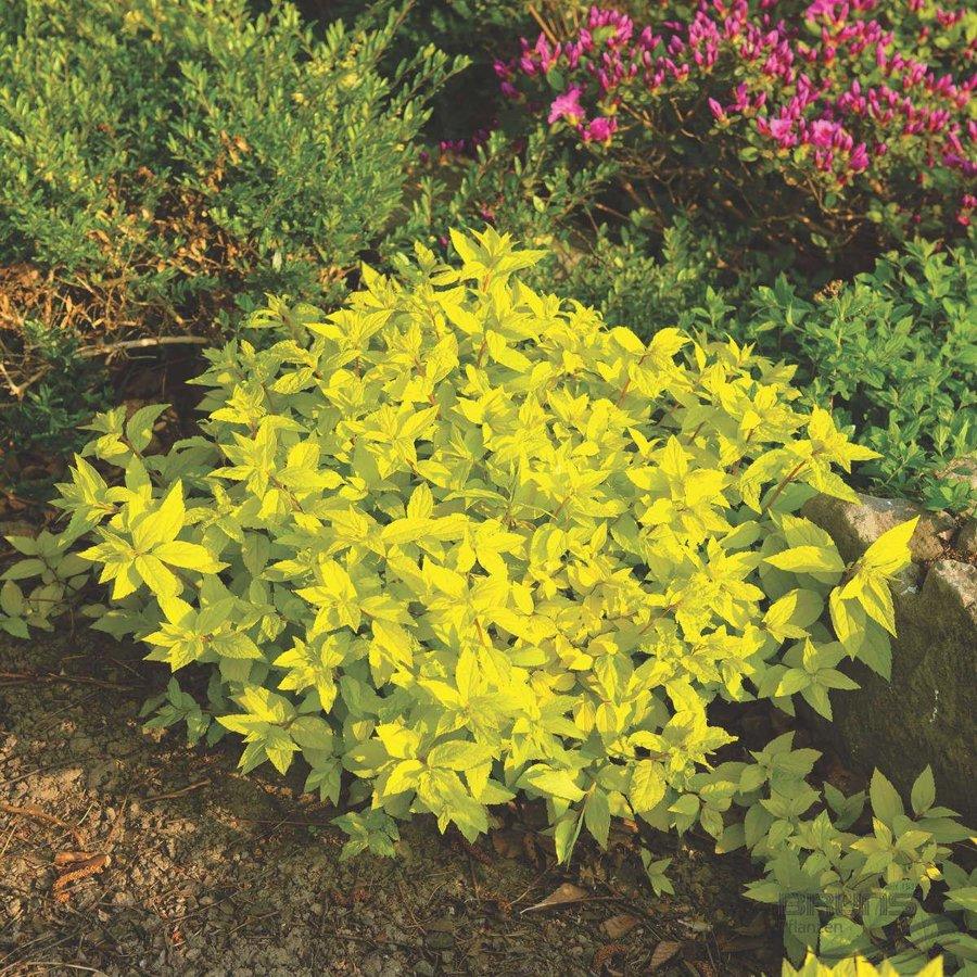 "Spiraea japonica ""Golden Princess"" (SPIREJA)"