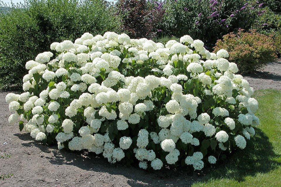 Hydrangea arborescens 'Annabelle' (KOKVEIDA HORTENZIJA)