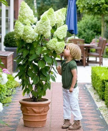 Hydrangea paniculata ''Magical Moonlight'' (SKARAINĀ HORTENZIJA)