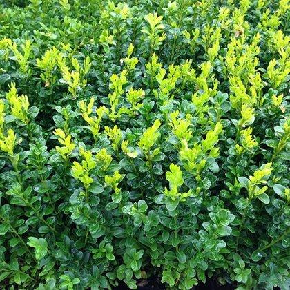 Buxus sempervirens (BUKSIS)