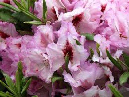 Rhododendron ''Danuta'' (RODODENDRS)