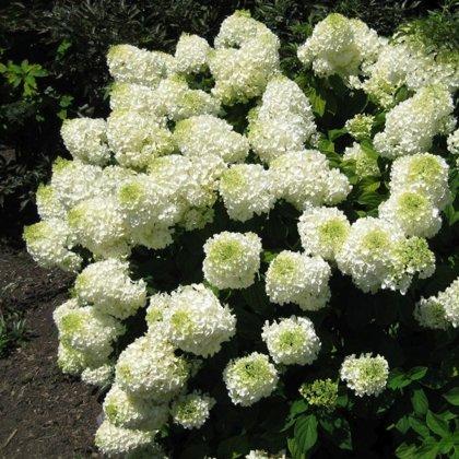 Hydrangea paniculata ''Silver Dollar'' (SKARAINĀ HORTENZIJA)
