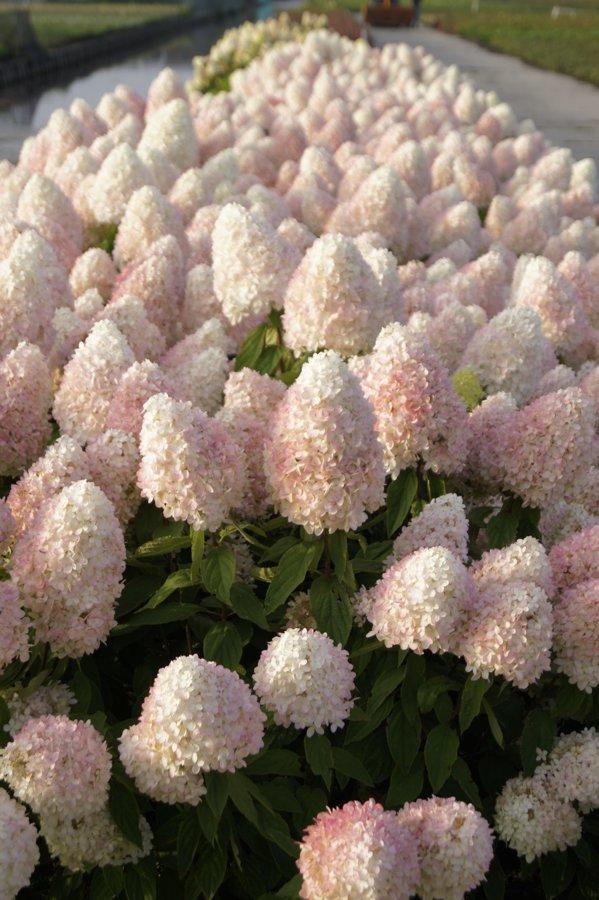 Hydrangea paniculata ''Sweet Summer'' (SKARAINĀ HORTENZIJA)
