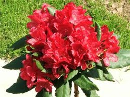 Rhododendron ''Nova Zembla'' (RODODENDRS)