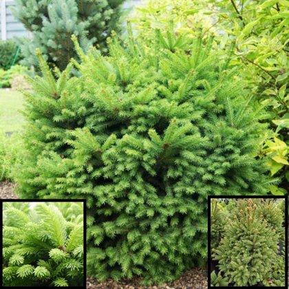 """Picea abies """"Baryii"""" (ASĀ EGLE)"""
