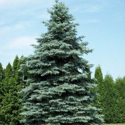 "Picea pungens ""Glauca"" (ASĀ SUDRABA EGLE)"