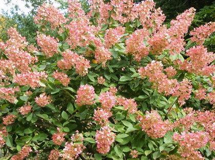 Hydrangea paniculata ''Pink Diamond'' (SKARAINĀ HORTENZIJA)