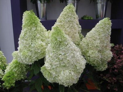 Hydrangea paniculata ''Polar Bear'' (SKARAINĀ HORTENZIJA)