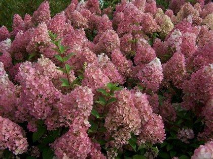 "Hydrangea paniculata ''Sunde Fraise"" (SKARAINĀ HORTENZIJA)"