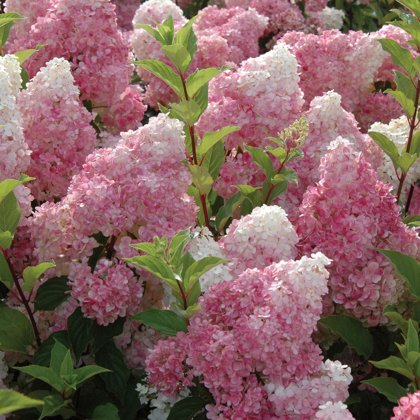 Hydrangea paniculata ''VANILLE Fraise'' (SKARAINĀ HORTENZIJA)